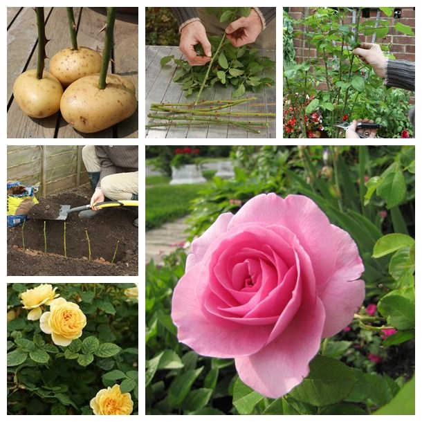 DIY Tips: How To Grow Rose On Potatoes From Cutting
